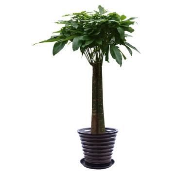 三杆发财树l1231价格(怎么样)